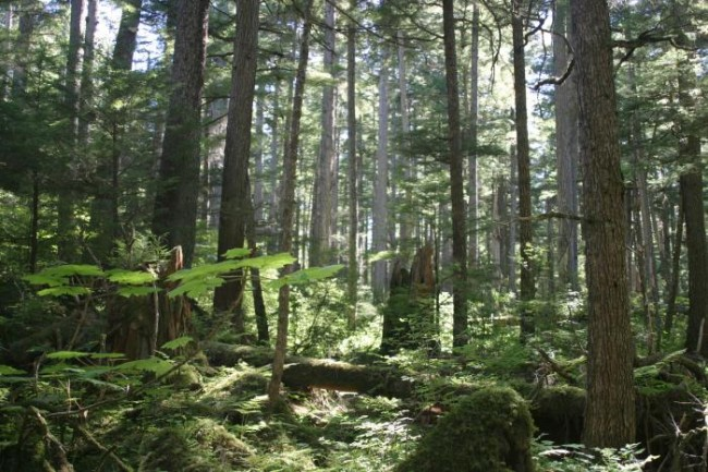 Photo of trees in the Tongass National Forest