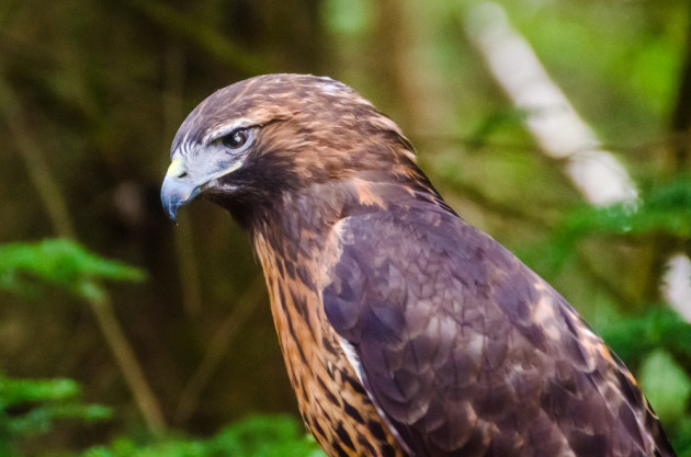 Brutus the red-tailed hawk
