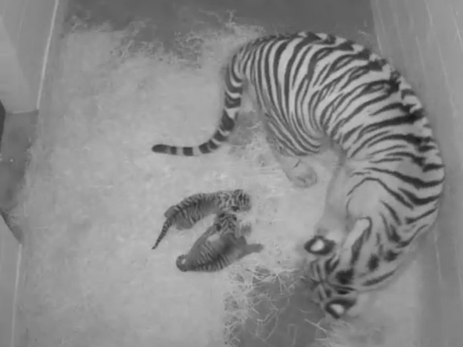 A Tigercubcam view of the new cubs, born at the Smithsonian's National Zoo on Monday. Smithsonian's National Zoo