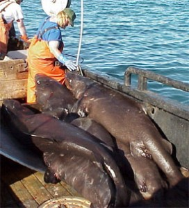 Pacific sleeper sharks caught on a research vessel in the Gulf of Alaska.