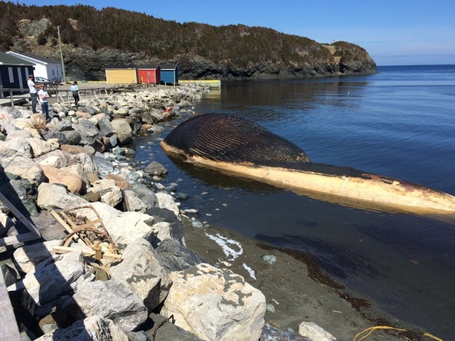A blue whale carcass washed up last week in Trout River, Newfoundland, Canada. Don Bradshaw/Courtesy of Don Bradshaw/NTV News