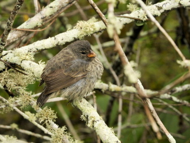 A Darwin finch in the Galapagos. The subfamily that is unique to the islands has been threatened by an invasive parasite that first appeared in 1997. Education Images/UIG via Getty Images