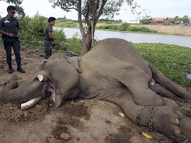 A photo released by the Ayutthaya Elephant Palace and Royal Kraal, shows Thai police officers examining the slain elephant. AP