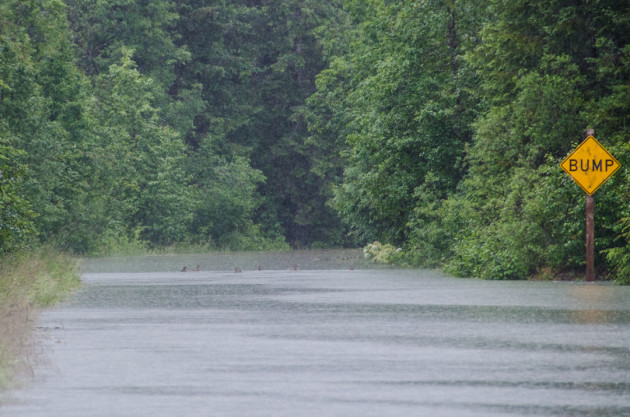 A family of ducks swim around Skater's Cabin Road just past the Mendenhall Campground Road. (Photo by Heather Bryant/KTOO)